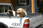 Bird Dogs in the back of a Chevy - Chile Style! Photo by: Brent Boone