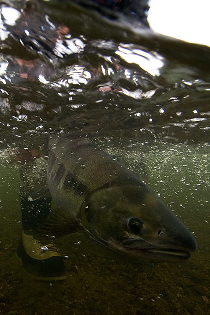 Releasing Mr. Dog Salmon :: Photo by: Matt Jones