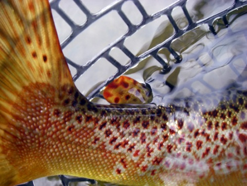 The colored-up tail of Flick's Fish. One of my favorite pictures from the trip. Photo by: Bart Larmouth
