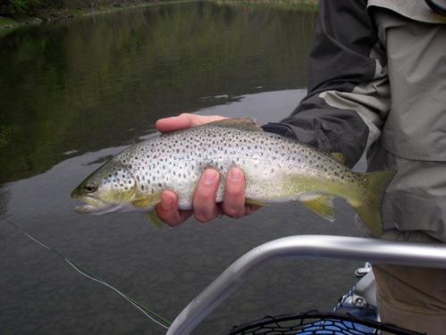 Is that a brown trout or a Humpy? Photo by: Jeff H. White