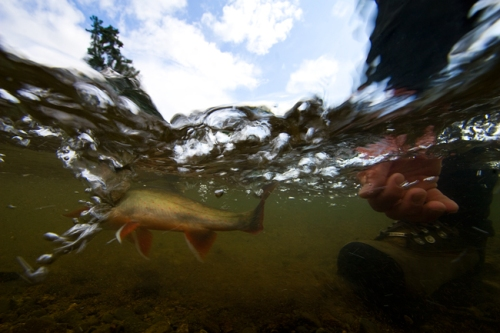 Releasing a colored up Dolly Varden :: Photo by: Matt Jones