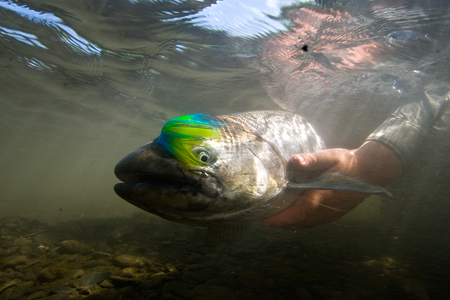 King Salmon on the fly :: Photo by Matt Jones