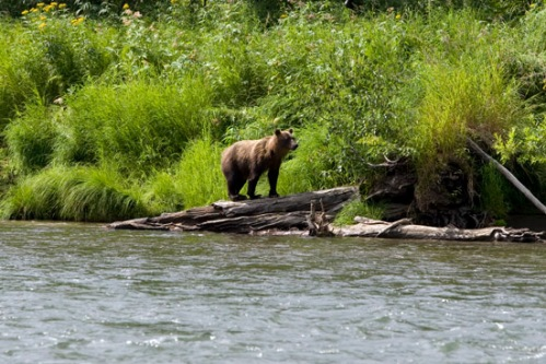 Bear on Log. Photo by: Brent Boone